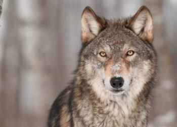 fantastico esemplare di lupo
